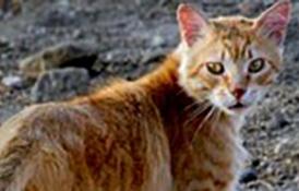Chat renard Corse